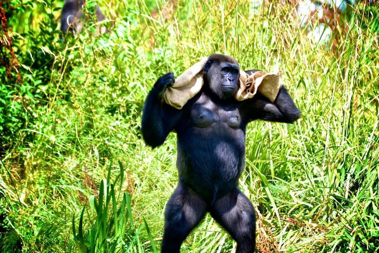 grass, primate, animal themes, mammal, animals in the wild, green color, no people, one animal, field, nature, animal wildlife, monkey, outdoors, ape, chimpanzee, day, gorilla, full length