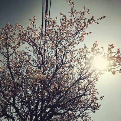 Cherryblossom Hokkaido