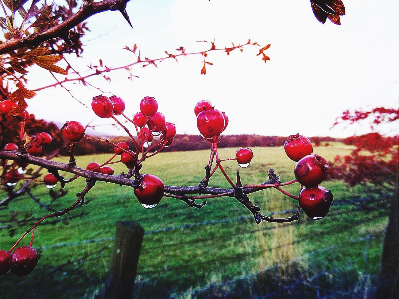 Hawthorn Berries Red Focus On Foreground No People Water Droplets