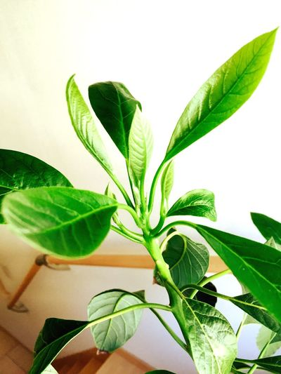 Avocado Avocados Green Green Leaves Nature Shapes In Nature  House Light And Shadow