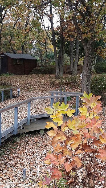 Japanautumn2016 Japannov2016 Japan Showa Kinen Park Nature Showa Kinen Park Beauty In Nature The Colours Of Autumn Autumn Leaves The Colours Of Nature