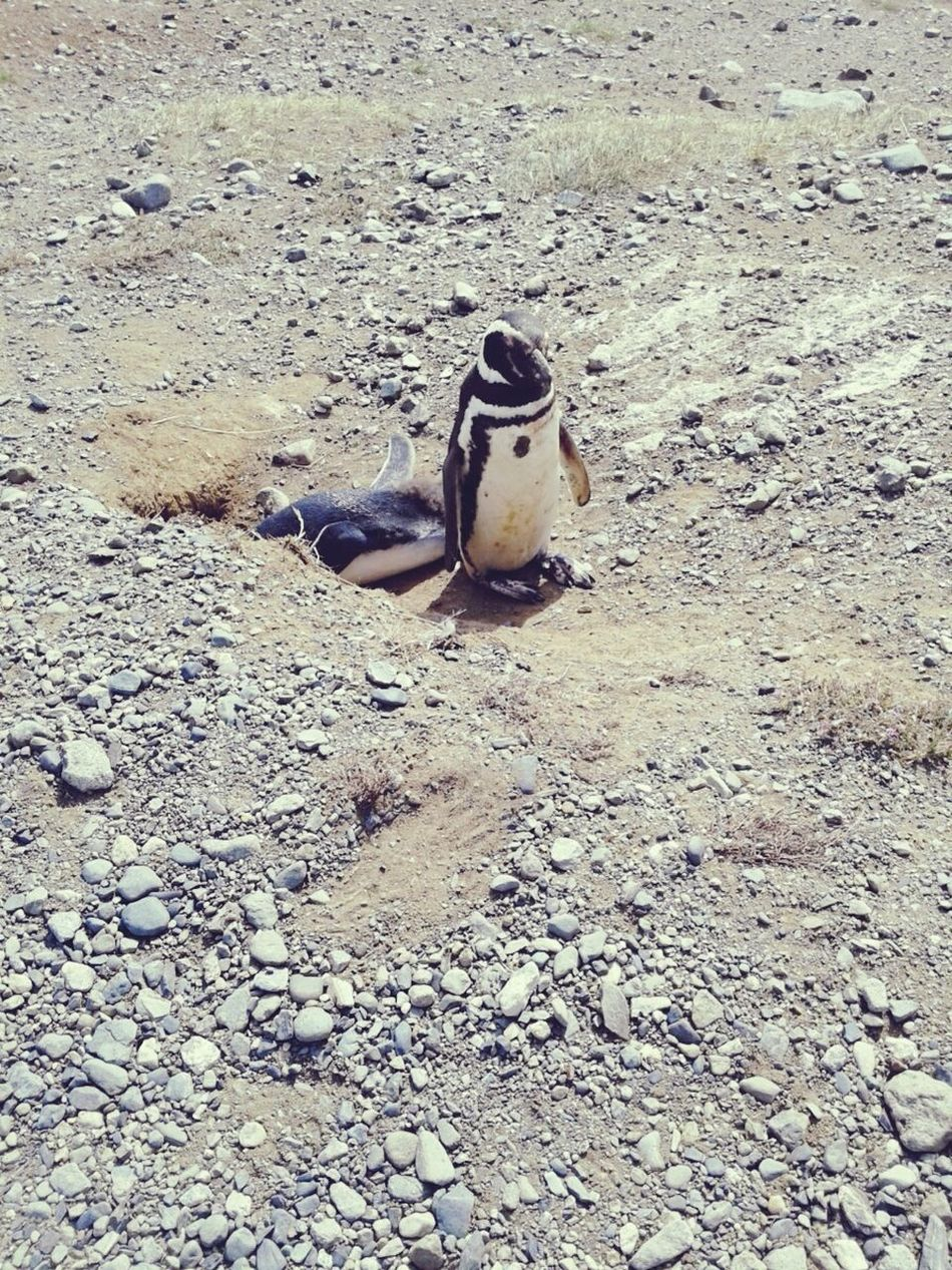 Naturelovers Pinguin Pinguins  Pingüino Islamagdalena