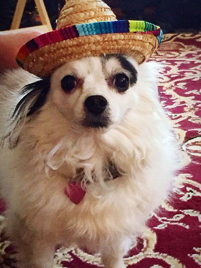 Animal Pet Birthdaydog Taking Photos Dog Chihuahua Psrty