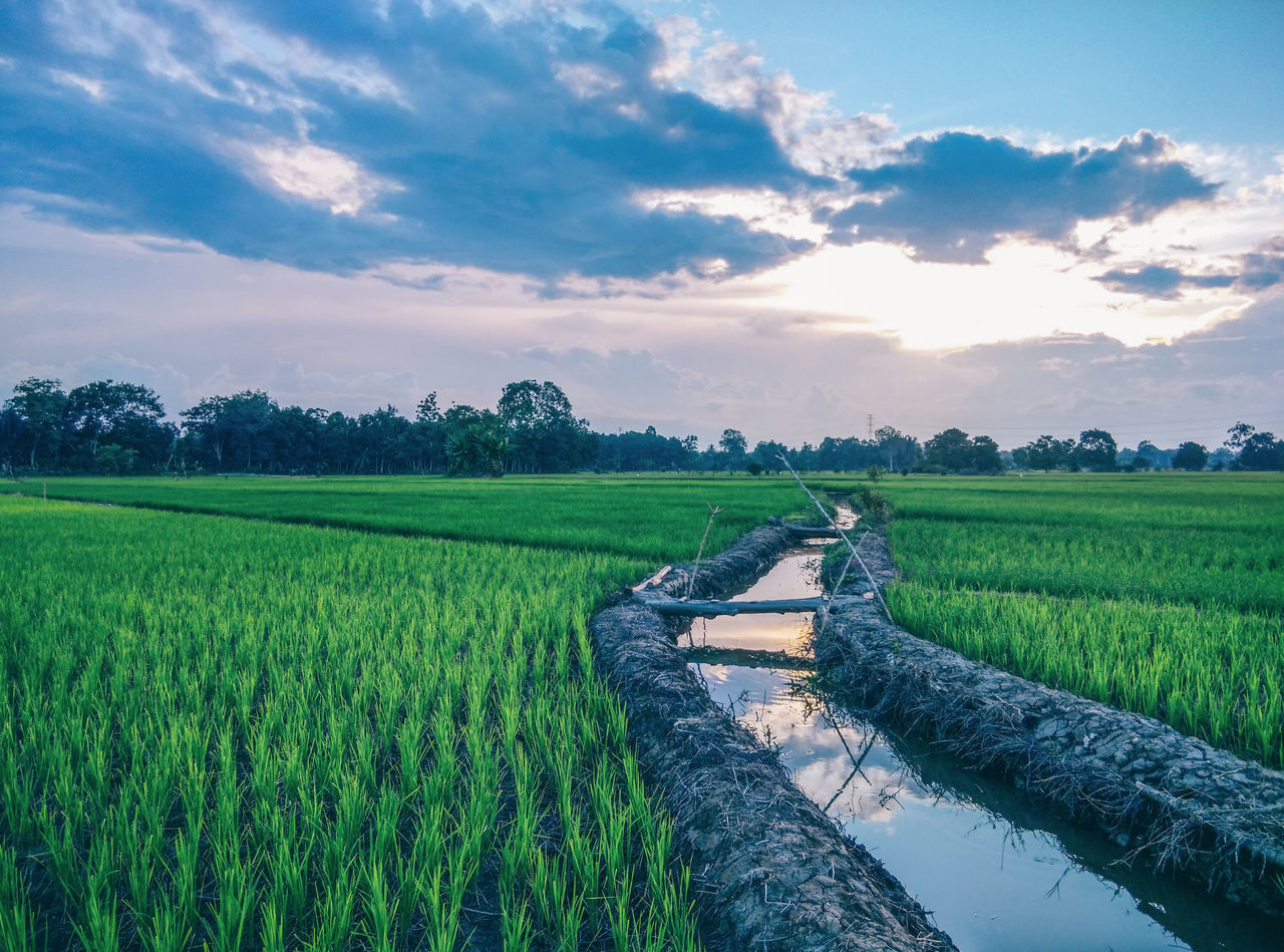 Agriculture Cloud - Sky Day EyeEmNewHere Field Food Full Length Green Color Growth Landscape Nature No People Outdoors Paddy Field Rice Paddy Scenery Scenics Sky Sunset Tranquil Scene Tranquility Tree Water The Great Outdoors - 2017 EyeEm Awards