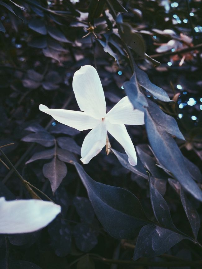 Photography is about freezing a moment to reveal how rich reality is. First Eyeem Photo Flowers Photography Nature Jasmine Jasmine Flower