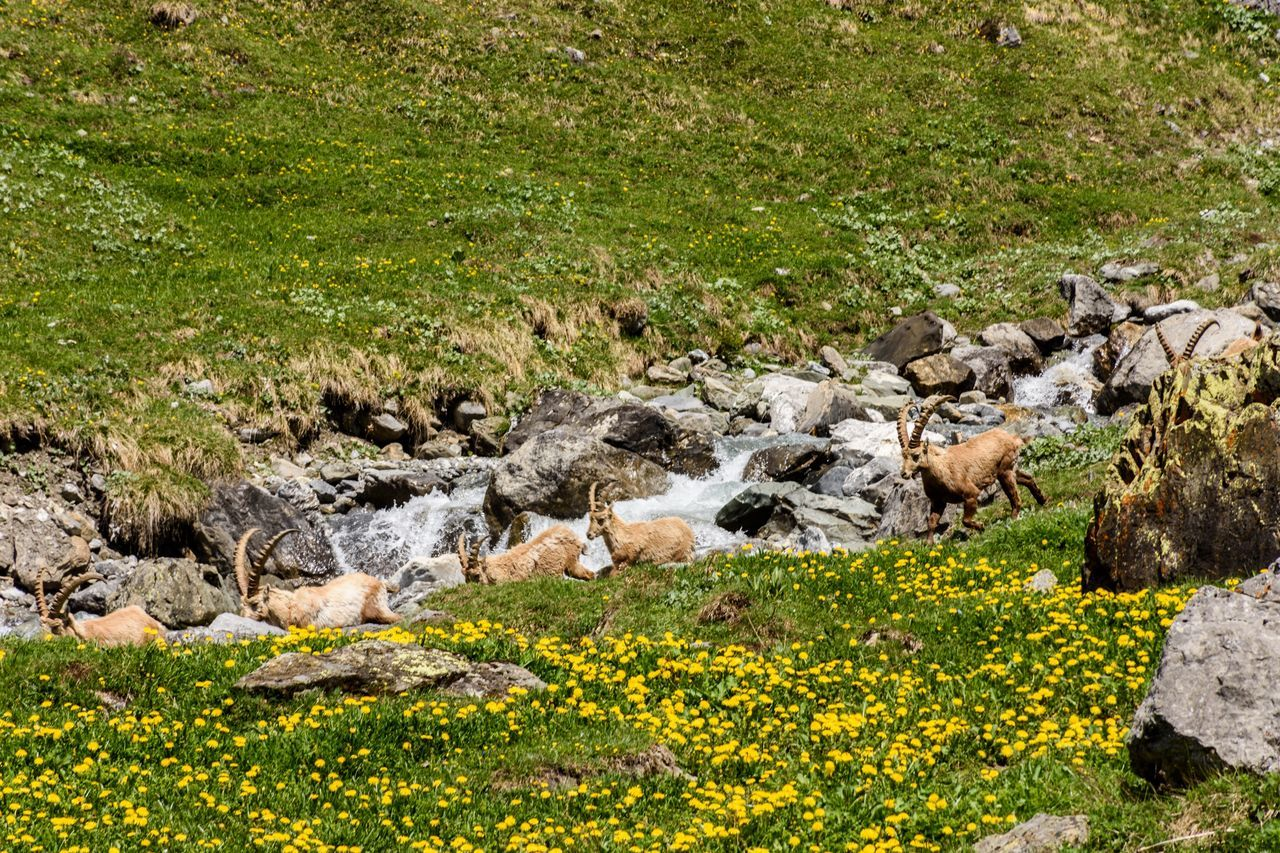 Steinbock Capicorn Wildanimals Animals In The Wild Animals Animals In The Mountains Oeschinensee Naturpur Mountains