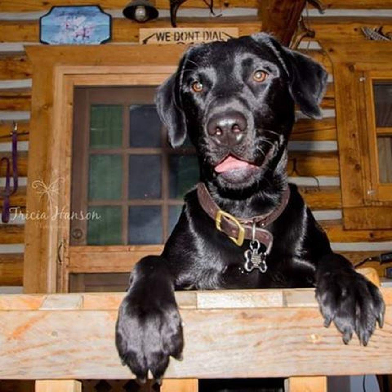 Whiskey boy ❤ Dogsofinstagram Montanadogs Blacklab Birddog Montanaphotography