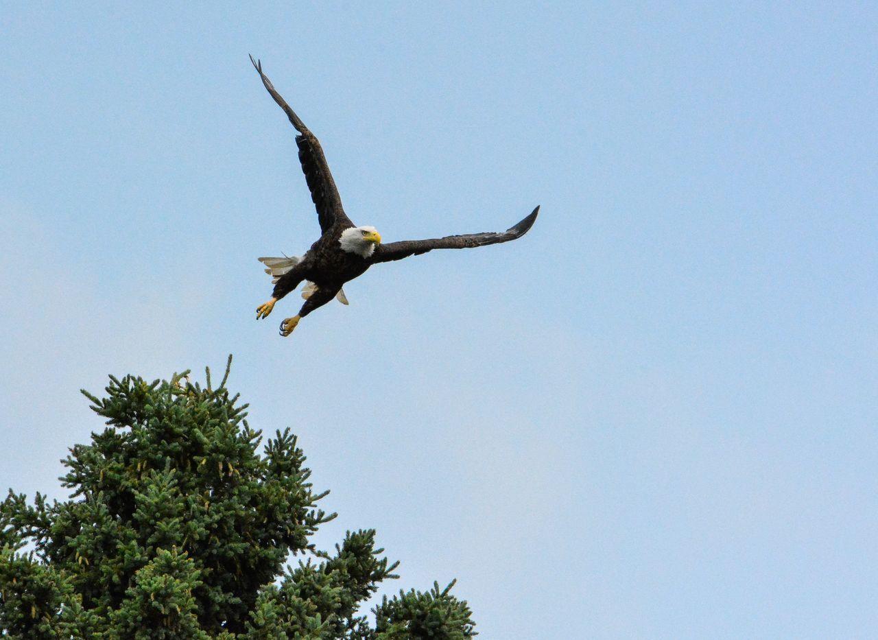 Beautiful stock photos of bald eagle, Animal Themes, Animals In The Wild, Bird, Close-Up