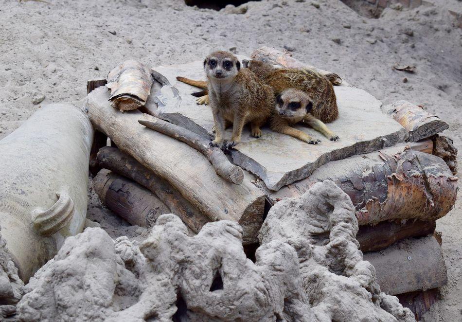 Animal Themes Animal Wildlife Animals In The Wild Day Mammal Meerkat Monkey Nature No People Outdoors