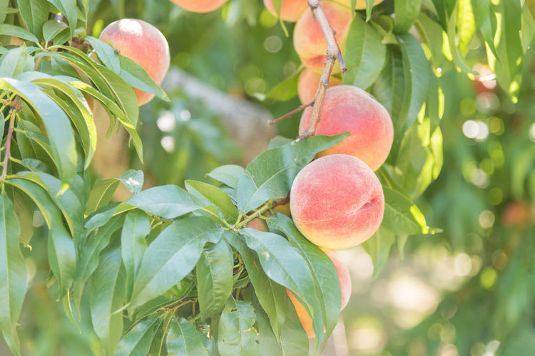 Ripe peaches on tree in orchard Afternoon Beautiful Branches July Naramata Naramata Bench Sparkling Bokeh Branch Close-up Food And Drink Fruit Golden Light Leaves Orchard Outdoors Peaches Peaches On Tree Ripe Ripe Fruit Ripe Peaches Selective Focus South Okanagan Summer Warm Light