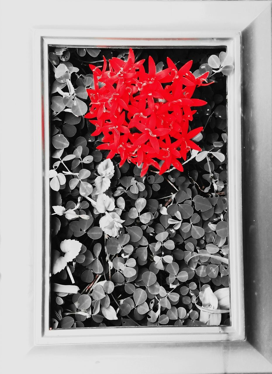 red, no people, close-up, indoors, flower, day, nature