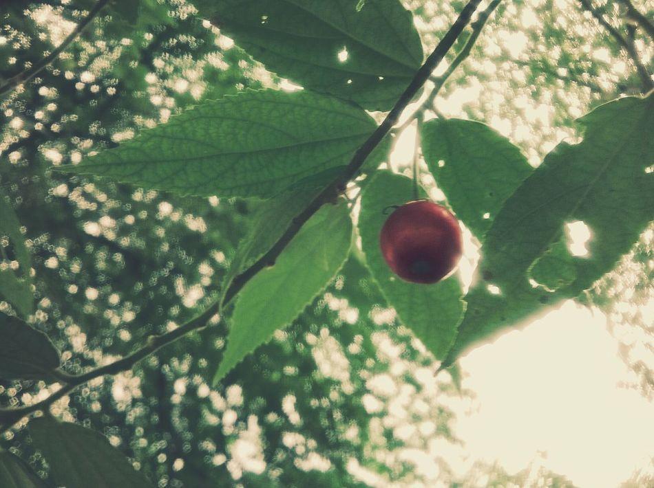 ลูกตะขบ Relaxing Tree And Sky Taking Photos Smartphonephotography Lumia520 Hanging Out