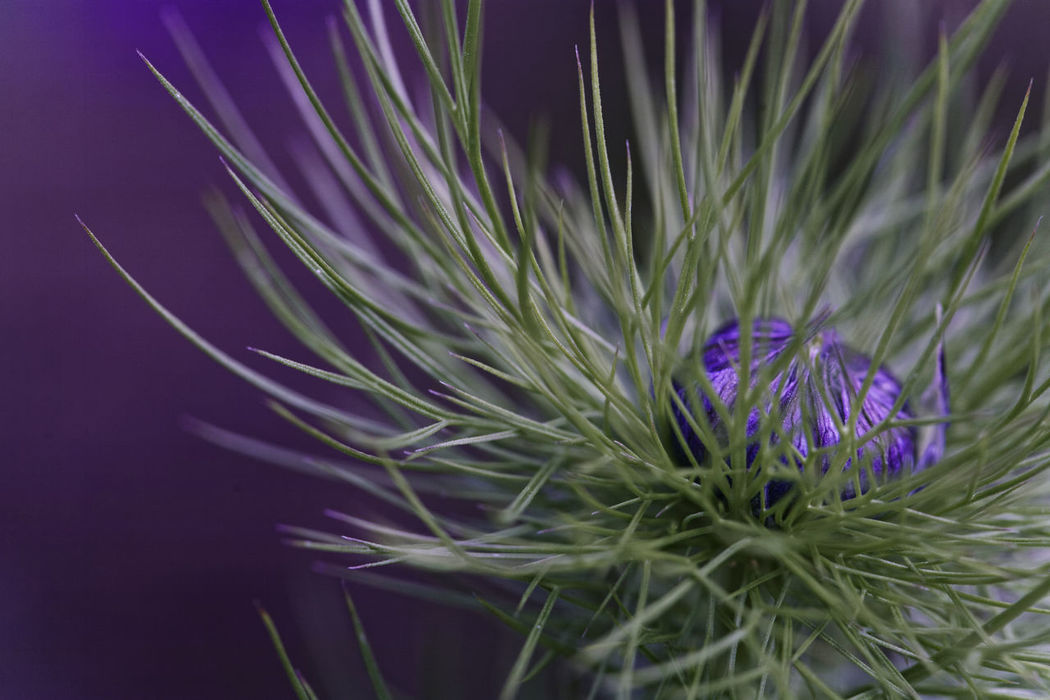Beatiful Nature Beauty In Nature Blurred Background Botanical Close-up Flower Flower Head Garden Flowers Garden Photography Growth Love In The Mist Nature Nigella Plant Purple Spikey Leaves