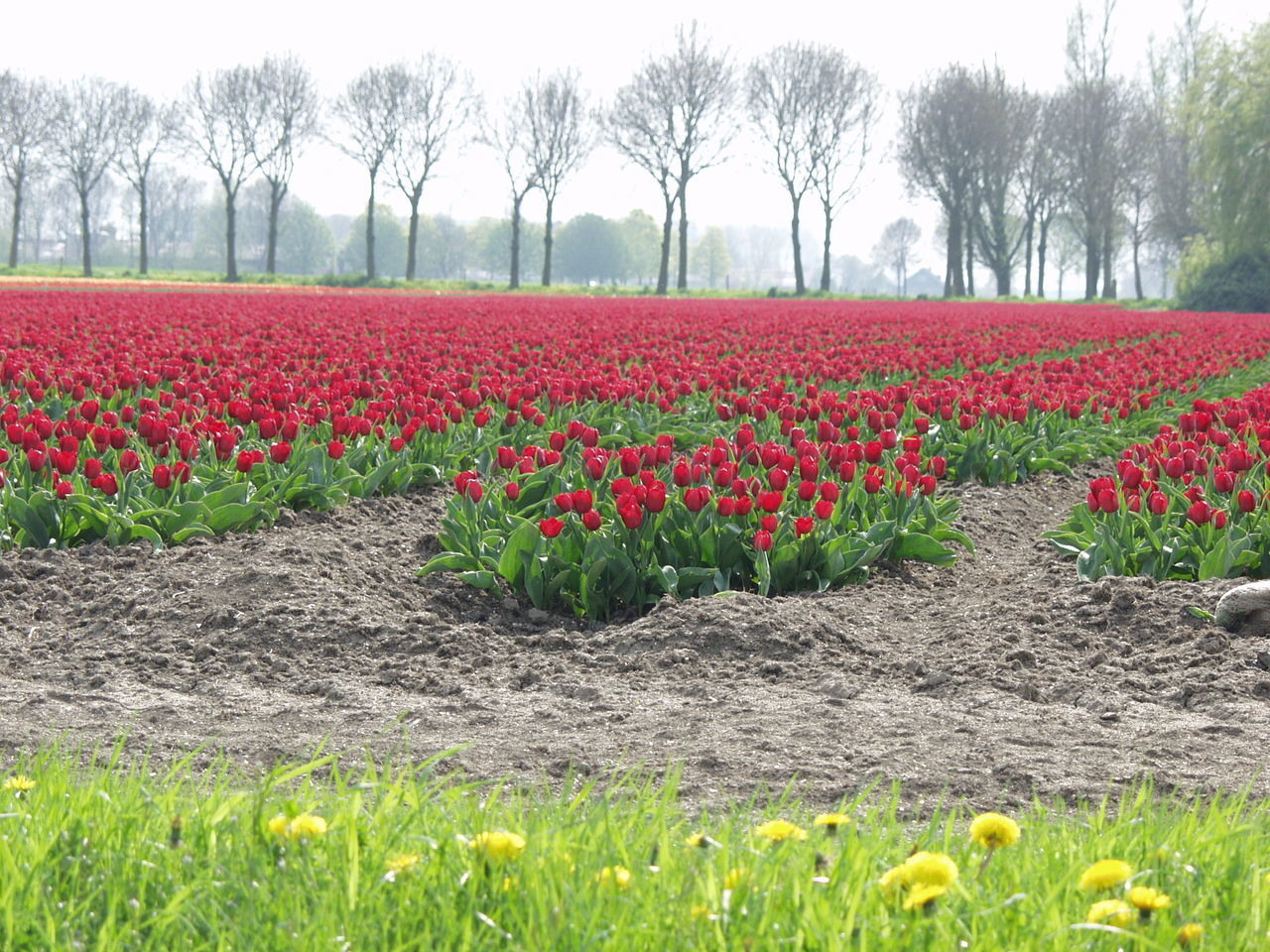 field, nature, beauty in nature, growth, tree, flower, tranquility, red, landscape, tranquil scene, scenics, day, rural scene, tulip, freshness, outdoors, no people, grass, agriculture, fragility, plant, multi colored, flower head, sky
