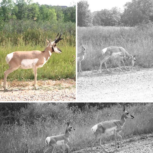 8-25-16 Antelope family on Morning Walk--Cheyenne WY. Iphone6splus Camera+ Photogrid Iphoneonly Iphonephotography Color Blackandwhite Animals Nature Antelope Cheyenne Wyoming