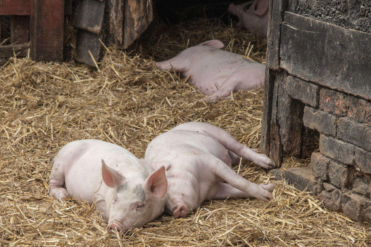 Piglets EyeEm Nature Lover EyeEm Gallery EyeEmNewHere Agriculture Animal Pen Animal Themes Barn Close-up Day Farm Hay Kent Life Livestock Nature No People Outdoors Pig Piglet Rural Scene Sleeping Straw Young Animal