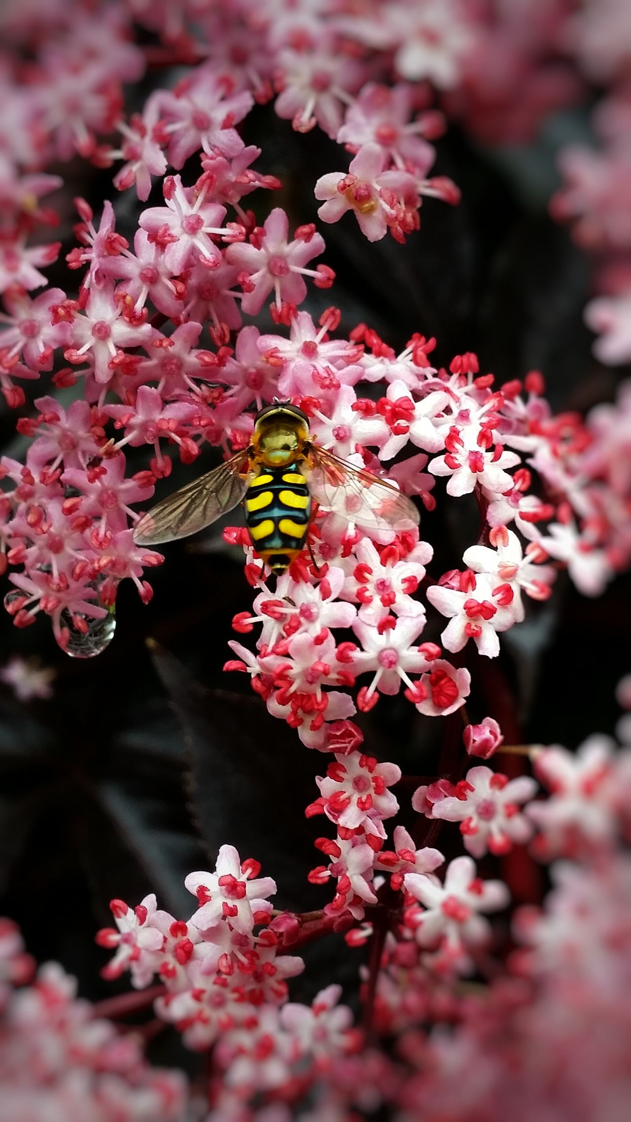 Hoverfly (Flowerfly) on Elderflower. 43 Golden Moments [Syrphidae on Sambucus nigra] I was practicing a few close up shots of my Purple-Leaved Elderflower and this gorgeously marked Hoverfly flew by for a sip of nectar. I only got chance for the one shot. 💫💕🌸🐝🌸💕💫 Flowers, Nature And Beauty Flowers Exceptional Photographs EyeEm Nature Lover Flower Lovers Every Flower Is A Soul Eye4photography  Striving For Excellence Nature Photography EyeEm Masterclass Colourful Nature England 🌹 Flower Photography Colorful Insects  Flying Insects Showcase June Things With Wings  EyeEm Best Shots Malephotographerofthemonth EyeEm Best Shots - Nature
