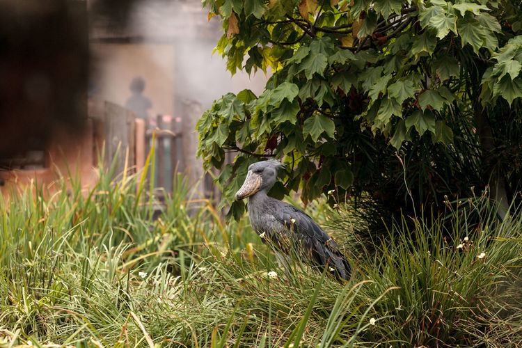 African Shoebill stork Balaeniceps rex is found in Africa in swamps from Sudan to Zambia. African Birds African Shoebill Stork Large Bill Shoebill Stork Animal Themes Animal Wildlife Animals In The Wild Balaeniceps Rex Bird Birds Close-up Day Growth Nature No People One Animal Outdoors Perching Shoe-billed Stork Stork Whalehead Stork