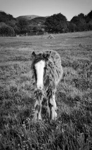 ' Adorable Fluffy Foal' ...I wanted to steal him! ❤ 😄 Bnw_friday_eyeemchallenge Farmlife Horses Baby Animals Farm Animals Farmland Exceptional Photographs Eye4photography  EyeEm Nature Lover Eyeemphotography Pony Foals BNW_farm_animals https://youtu.be/sr6lr_VRsEo