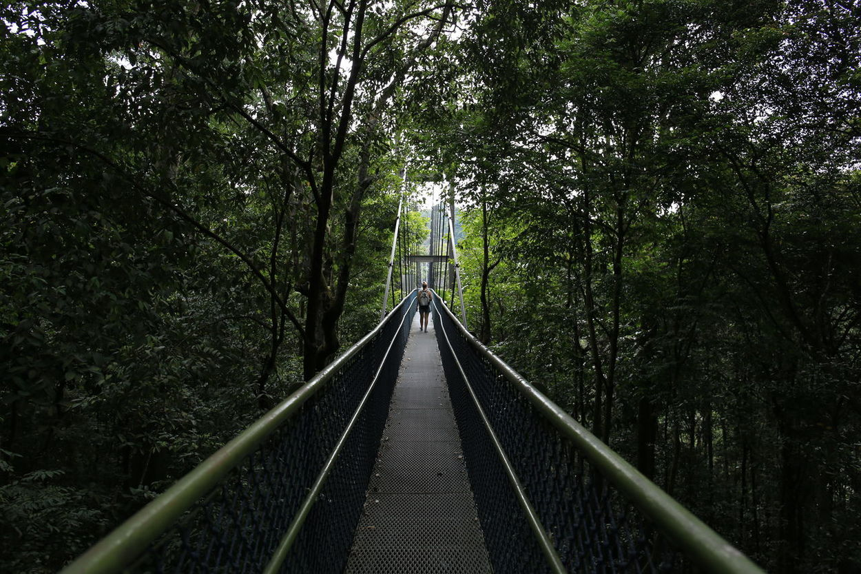 Bridge - Man Made Structure Brıdge Forest Trail Nature Outdoors Singapore Tree Tree Top Walk