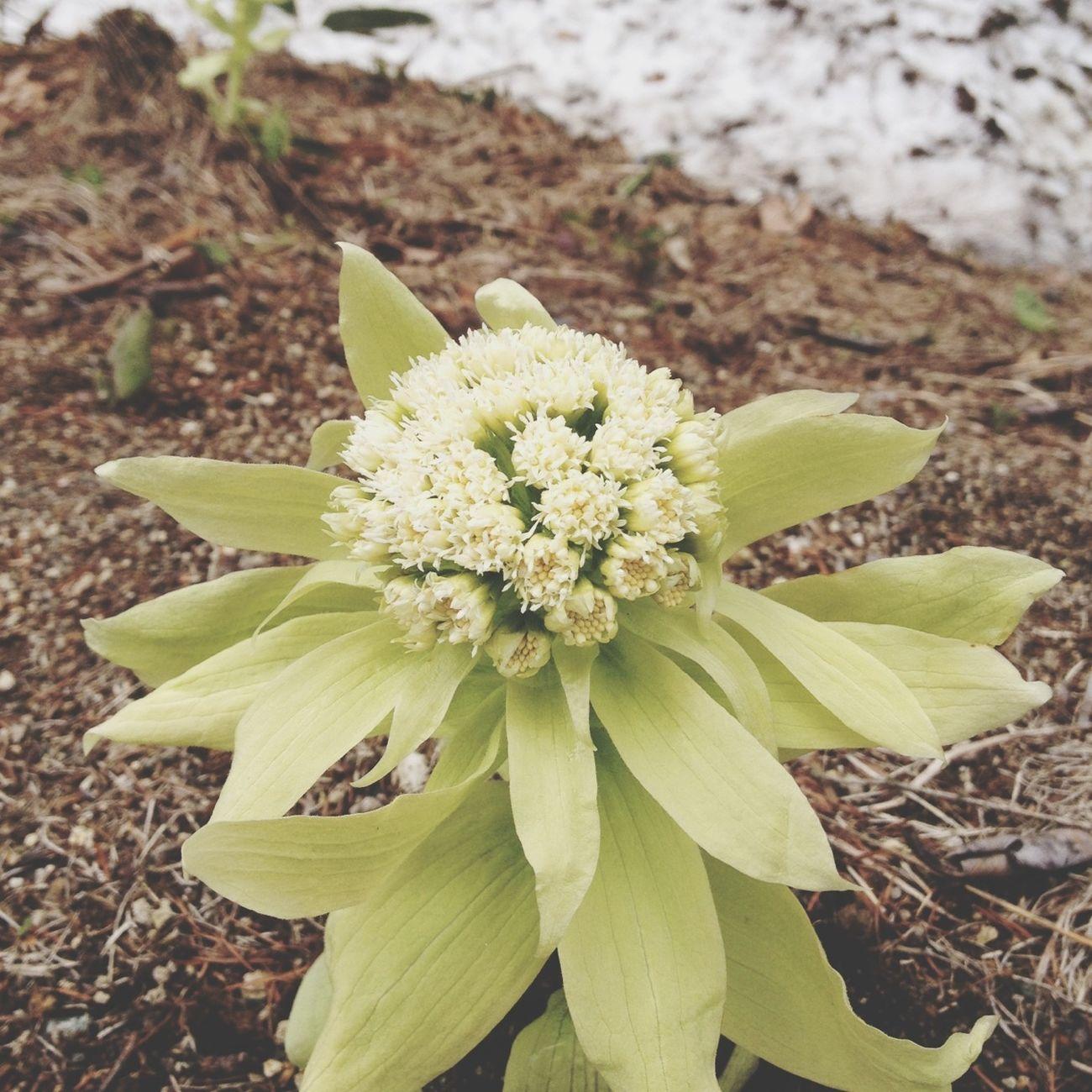 Spring Flowers 雪解け