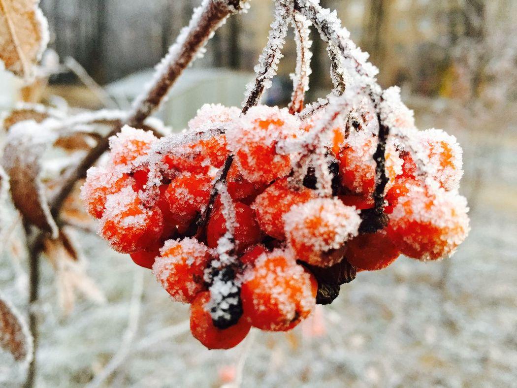 растение рябина ягоды иней