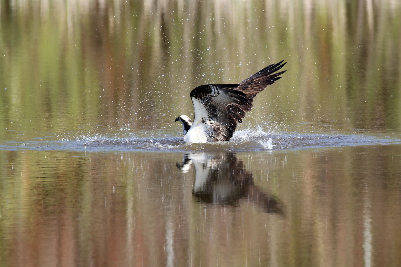 Osprey Fishing Animal Animal Themes Beauty In Nature Black Color Day EyeEm Nature Lover Fishing Focus On Foreground Hunting Lake Nature No People Osprey Dive Outdoors Reflection Rippled Selective Focus Tranquility Water Wings Wingspan