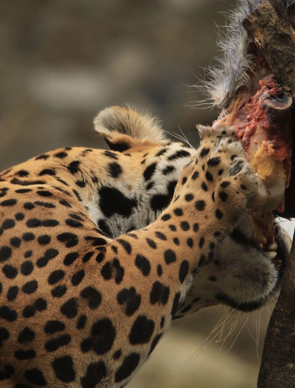 Beautiful stock photos of jaguar, Animal Themes, Animal Wildlife, Animals In The Wild, Big Cat
