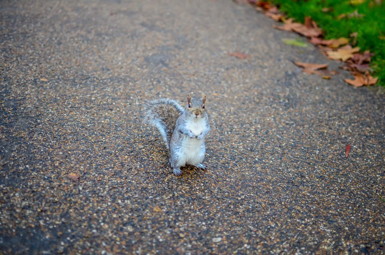 one animal, animal themes, animals in the wild, animal wildlife, looking at camera, outdoors, road, day, no people, mammal, portrait, pets, nature, domestic animals, close-up