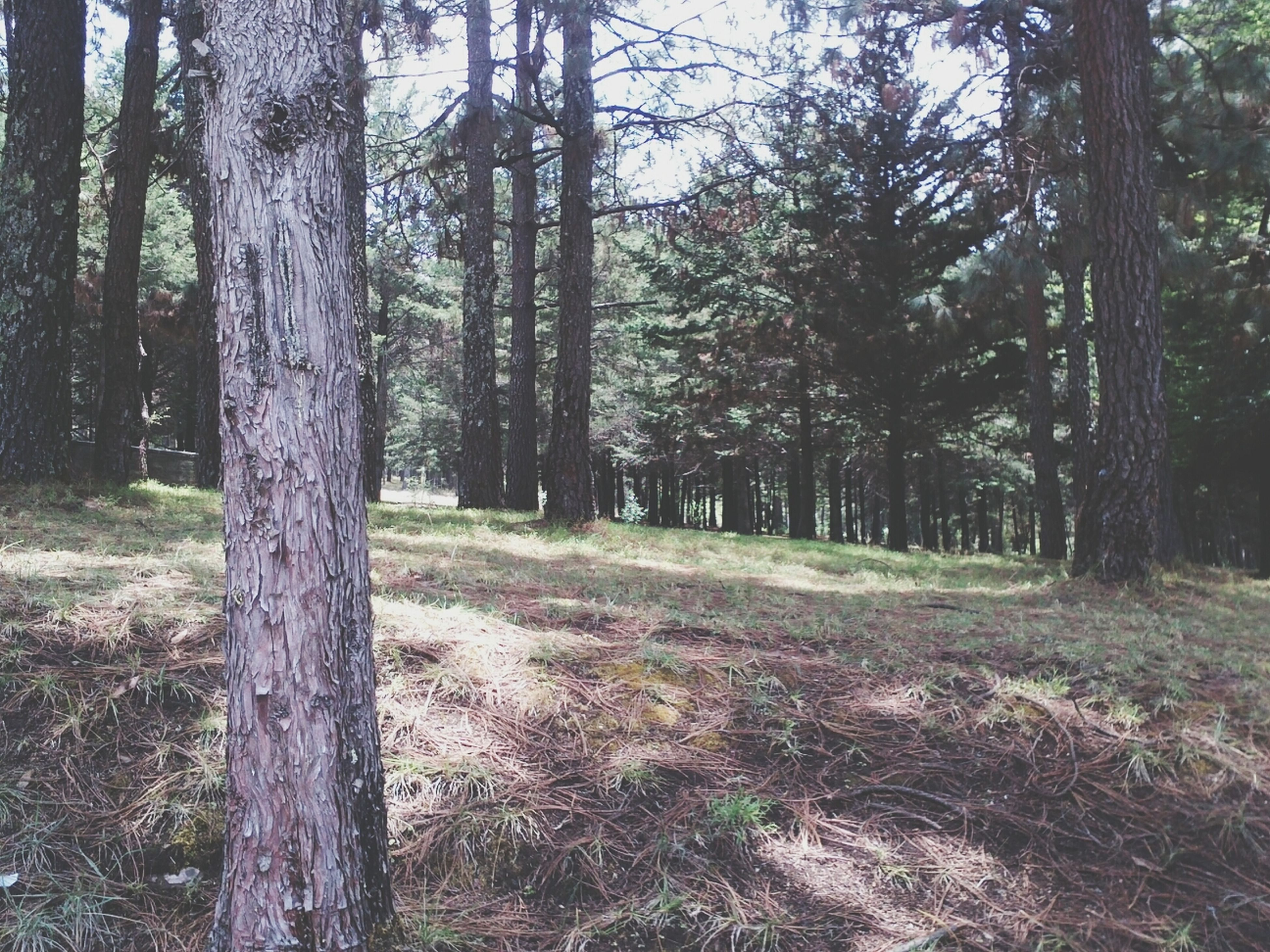 tree, tree trunk, forest, tranquility, woodland, growth, nature, tranquil scene, branch, beauty in nature, scenics, non-urban scene, landscape, day, outdoors, no people, sunlight, bare tree, idyllic, remote