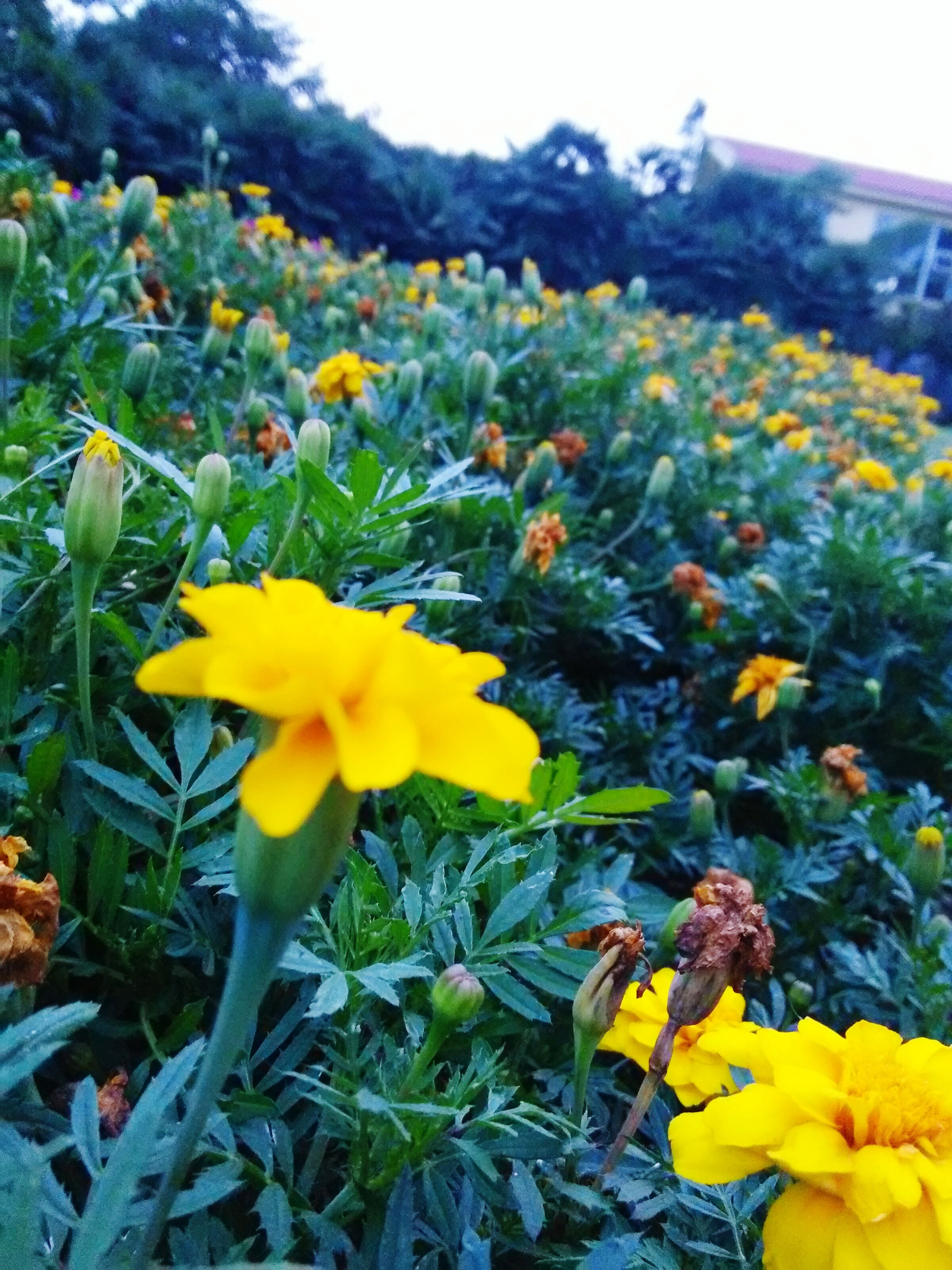 yellow, flower, freshness, fragility, growth, beauty in nature, field, petal, nature, plant, blooming, agriculture, rural scene, abundance, flower head, in bloom, landscape, close-up, blossom, day