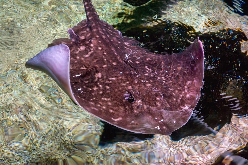Fish Batoidea Sealife Saltwater Swimming Rays Skates Sawfish Animal Sea