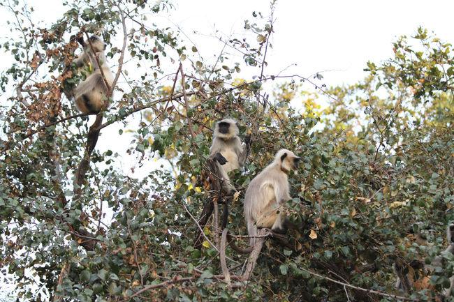 Perched langurs Animal Animals In The Wild Bandhavgarh National Park India Langur Madhya Pradesh Mammal Monkey Nature No People Perched Tree