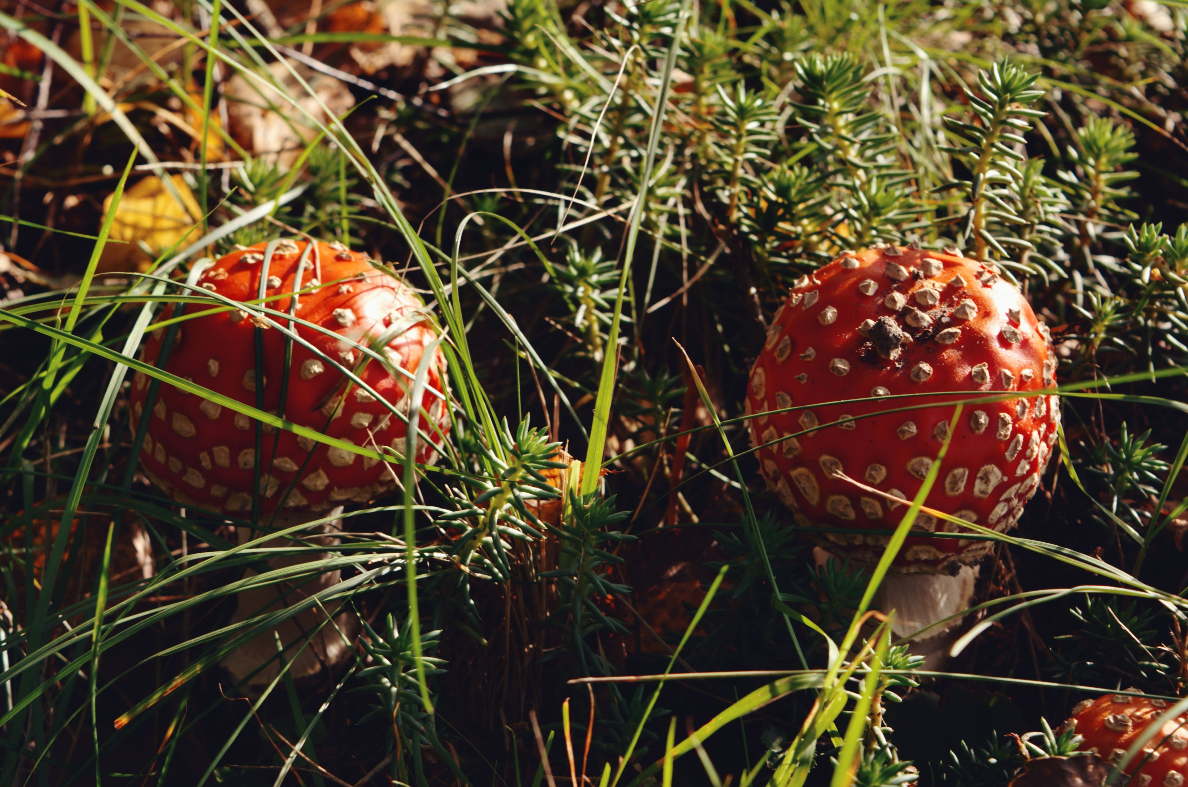 red, grass, nature, growth, fly agaric mushroom, no people, close-up, day, outdoors