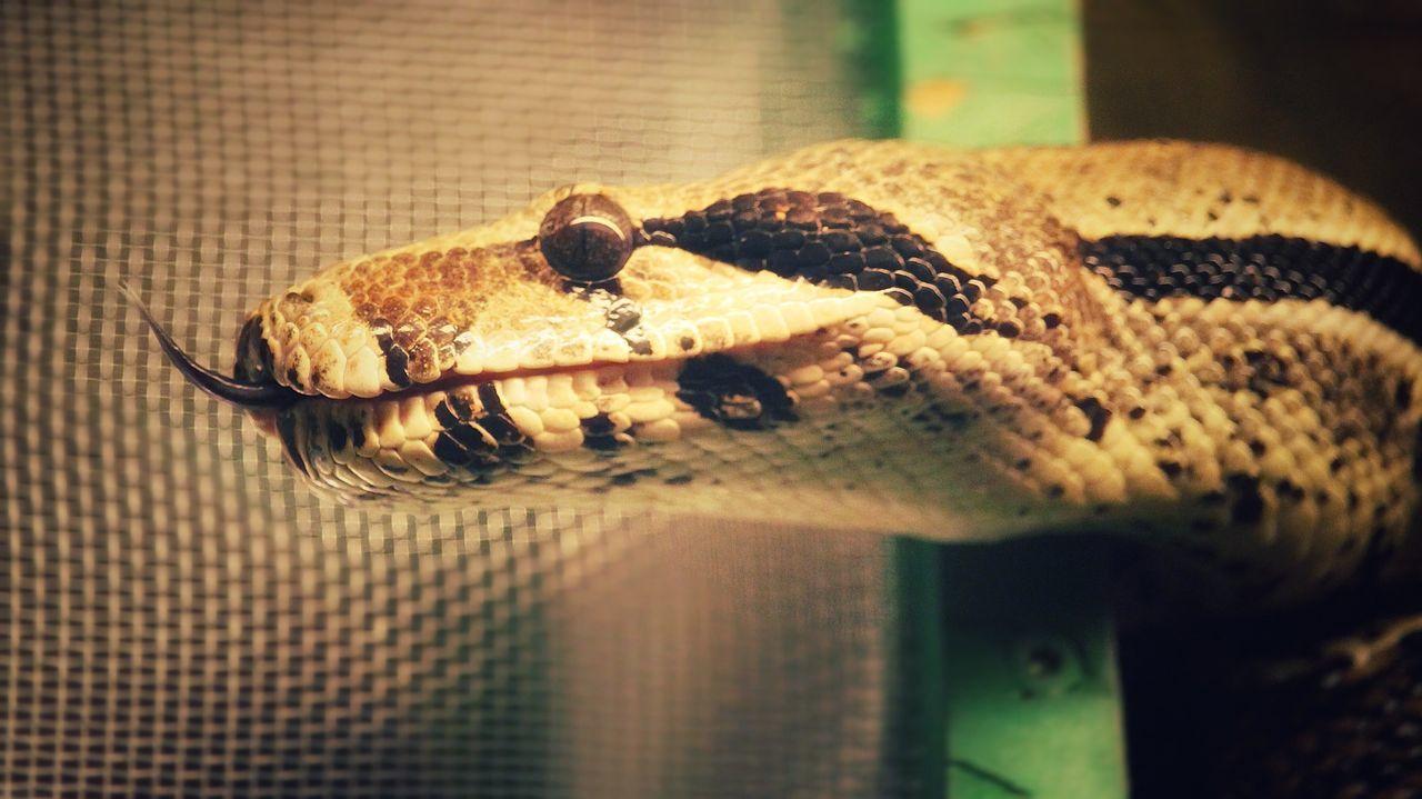 Snake Schlange  Schlangen Animal Themes One Animal Reptile Animal Wildlife No People Close-up Animals Animal Head  Animal