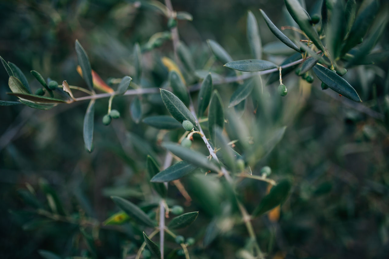 Alentejo Bio Close-up Day Growth Mediterranean  Mediterranean Food Nature No People Olive Olive Oil Olive Tree Olive Trees Olives Outdoors Plant Portugal
