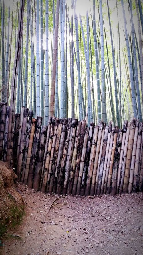 Japanese Holiday Giant bamboo forest, Kyoto, Japan.