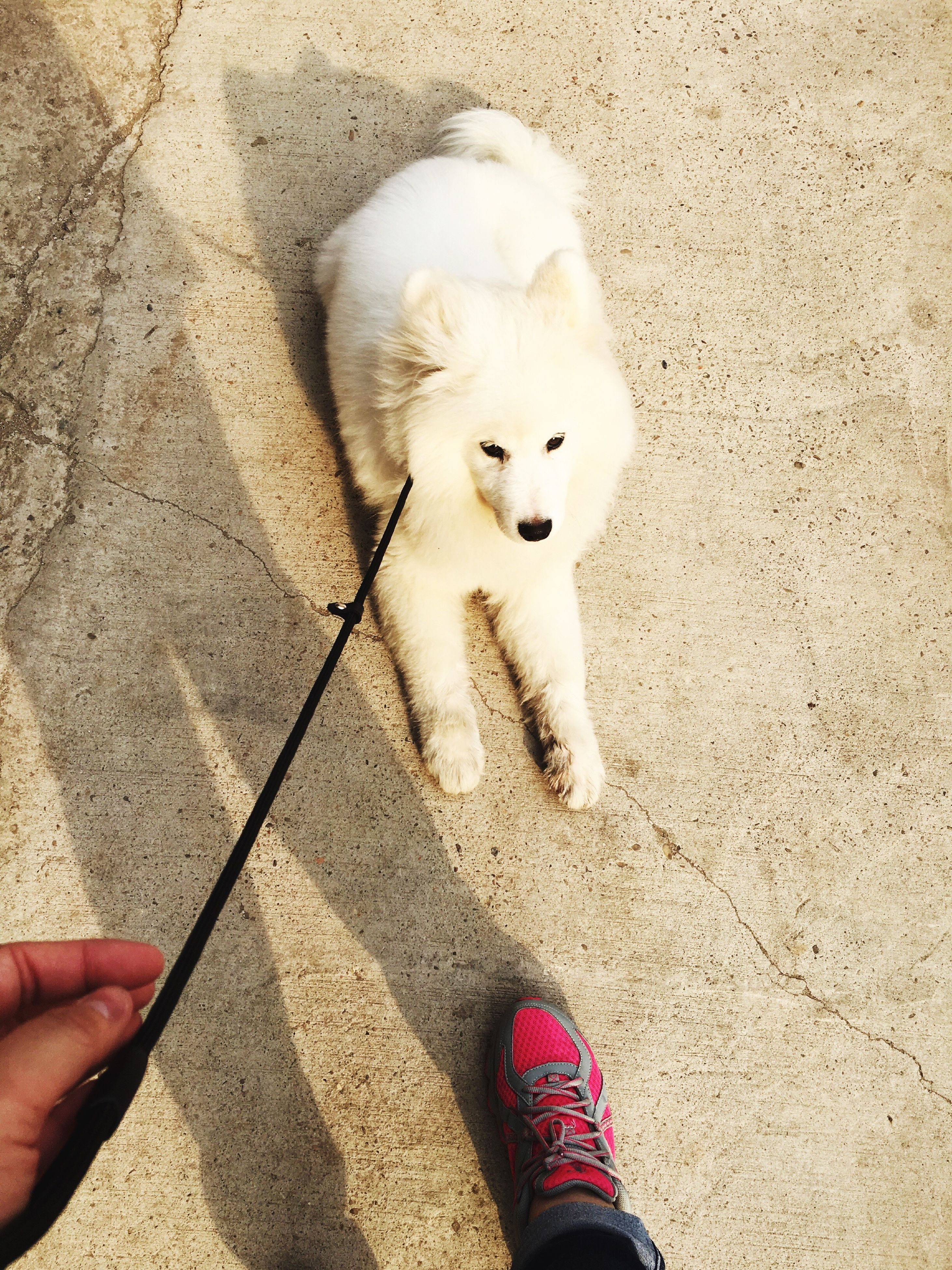 high angle view, animal themes, personal perspective, person, one animal, holding, part of, low section, unrecognizable person, domestic animals, pets, lifestyles, standing, leisure activity, white color, dog