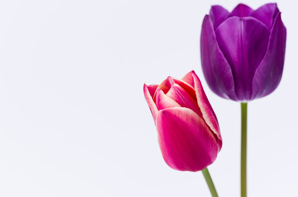 Beautiful stock photos of tulip,  Close-Up,  Copy Space,  Flower,  Flower Head
