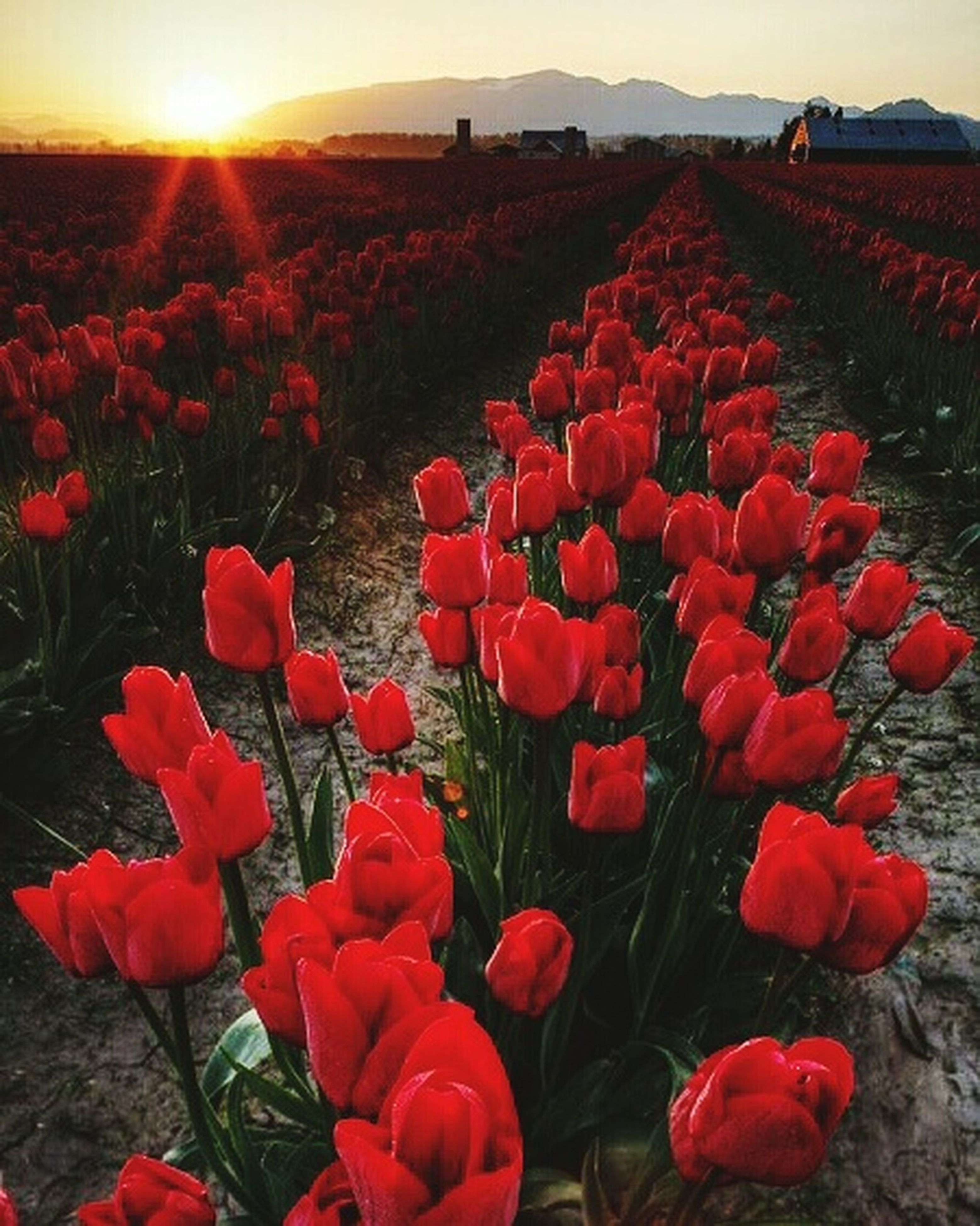 flower, red, field, freshness, beauty in nature, growth, nature, rural scene, landscape, tulip, plant, agriculture, abundance, fragility, poppy, tranquility, sky, blooming, petal, sunlight