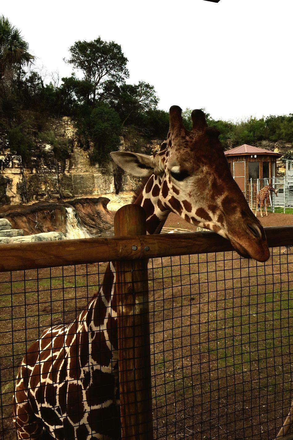 Giraffe♥ Long Neck  EyEm New Here