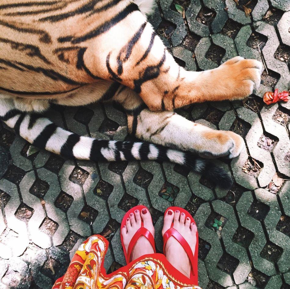 Beautiful stock photos of tiger, Animal, Animal Body Part, Animal Themes, Close-Up