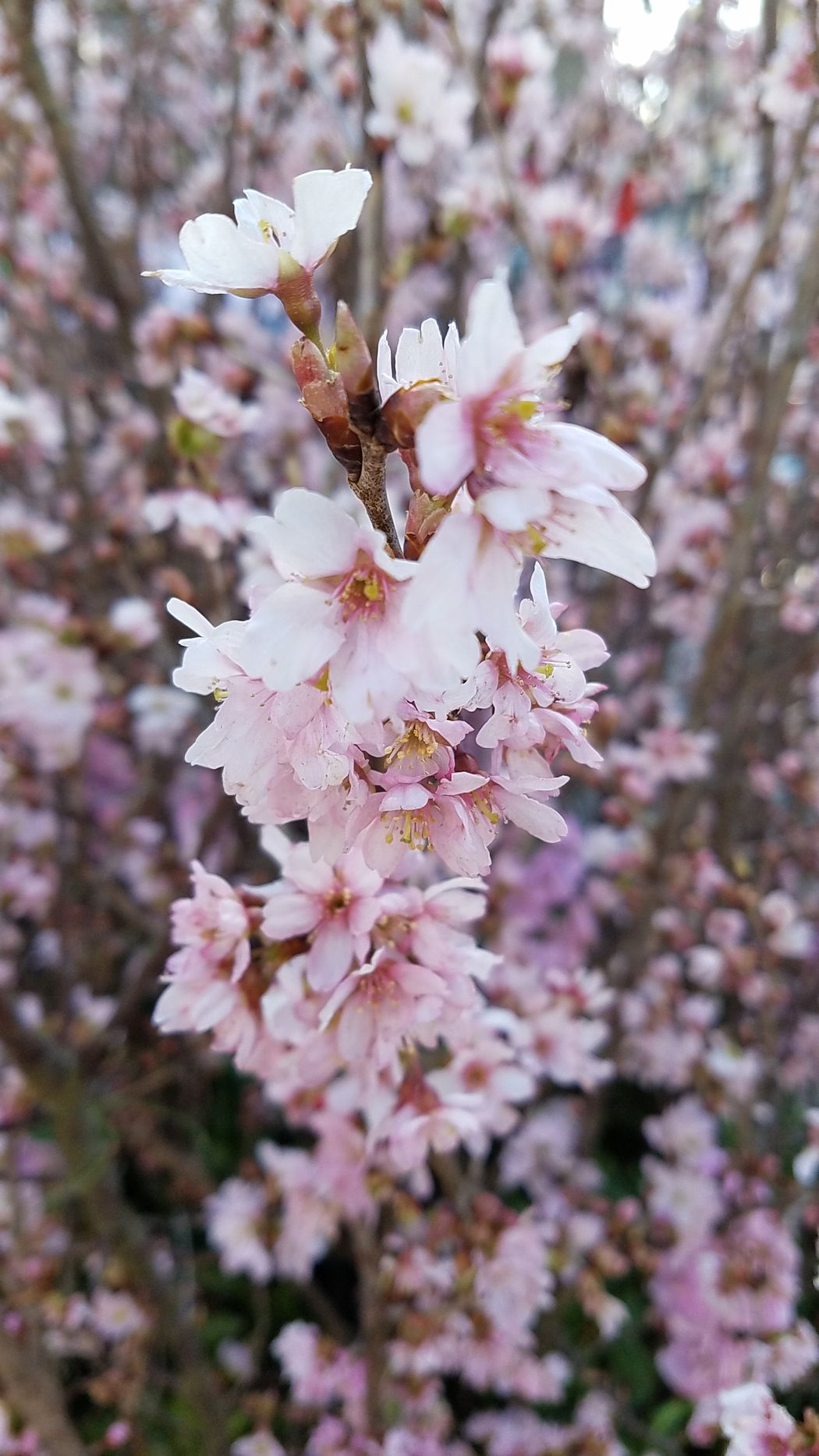 Flower Nature Beauty In Nature Blossom Tree Plum Blossoms Plumtrees Plum Flower Flower Head 花 Flowerslovers Flowers Tokyo Photography 梅の花