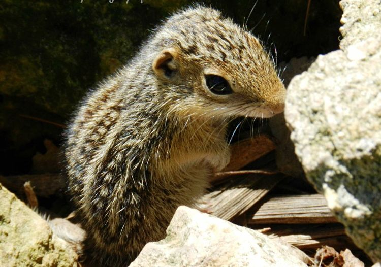 Found this little guy tucked away in some boulders. Groundsquirrel Ground Squirrel Chipmunks  Chipmunk Arena Arena Wisconsin Spring Green Spring Green, Wisconsin SpringGreen Pecks Pecks Farm Market Nature Wildlife Wildlife Photography Wildlife & Nature Wild Life Nature_collection EyeEm Nature Lover Naturelovers Nature Photography Nature On Your Doorstep Nature_collection Naturephotography Nature_ Collection  Naturelover