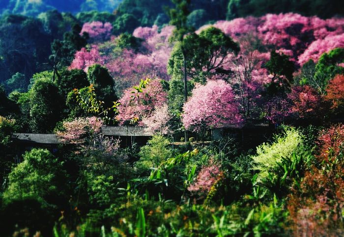 Chaing Mai Thailand wild himalayan cheery Flowers In Bloom