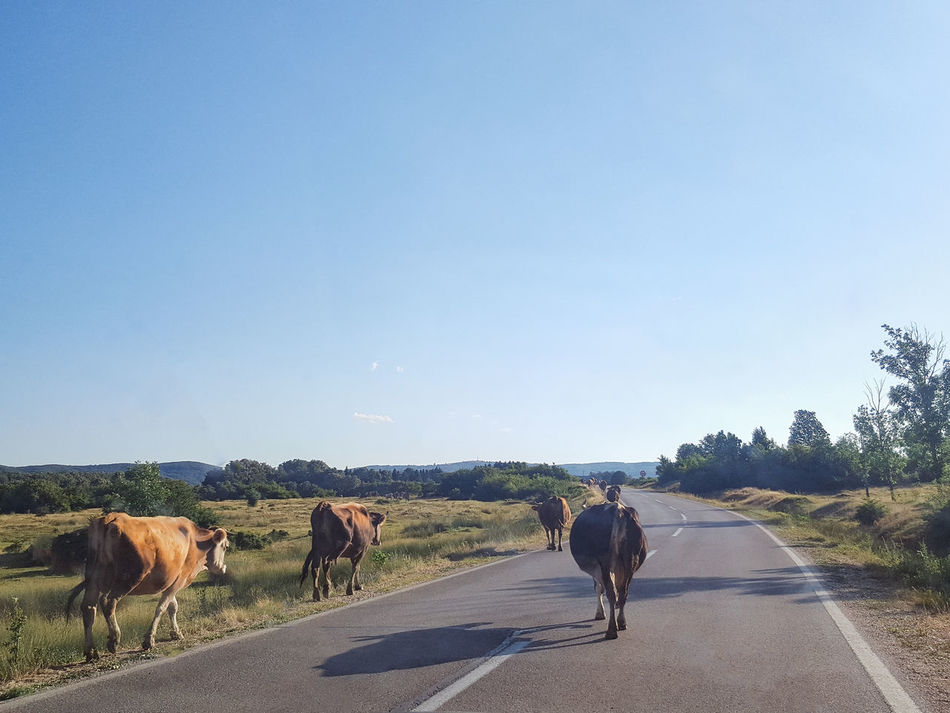 Country Road Road Animal Themes Clear Sky Country Life Countryside Cow Day Domestic Animals Landscape Landscape_photography Mammal Nature No People On The Road Outdoors Pets Road Roadtrip Sky The Way Forward Tree