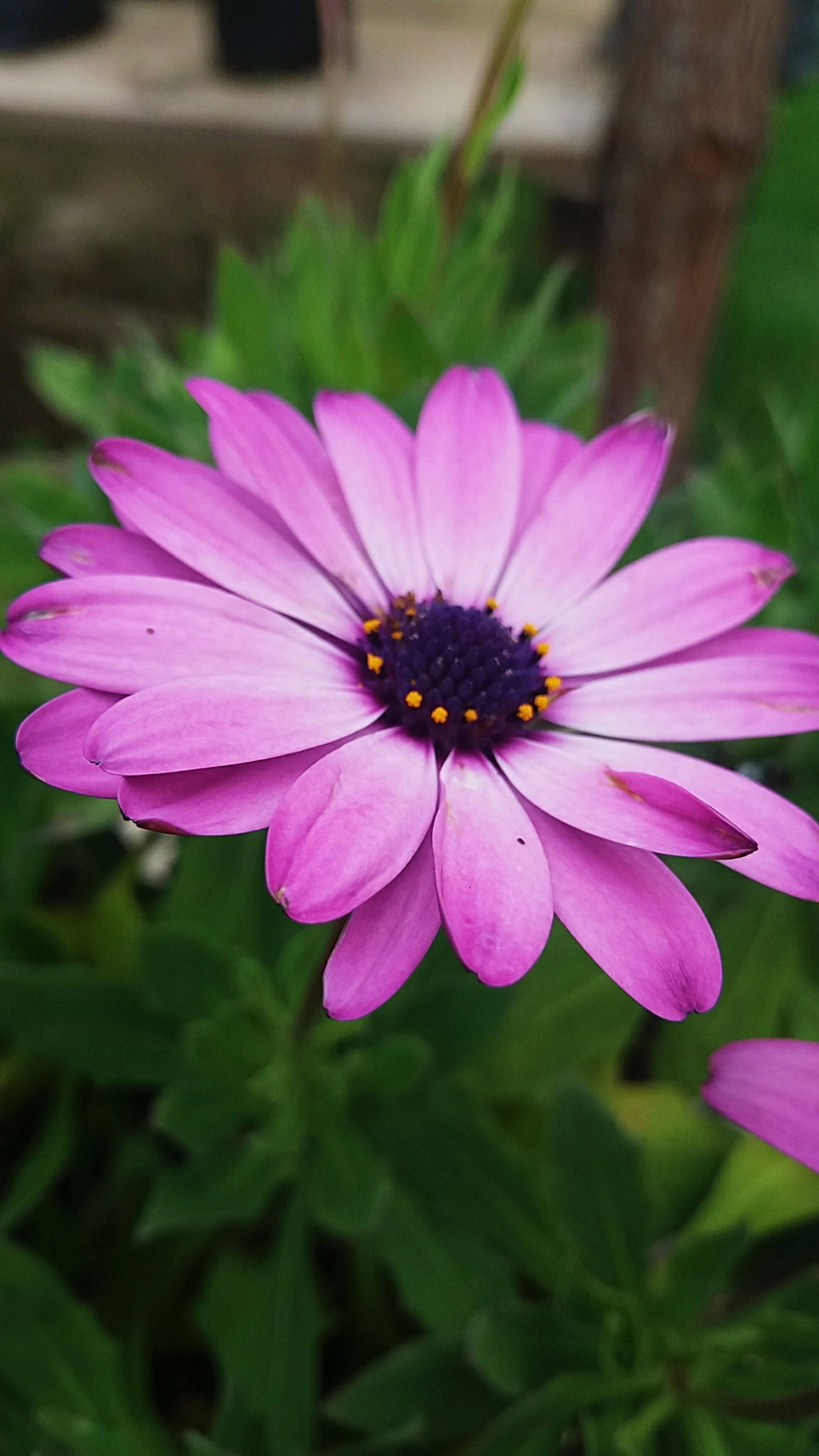 flower, freshness, fragility, petal, flower head, close-up, beauty in nature, growth, in bloom, blossom, purple, nature, springtime, single flower, pink color, plant, botany, vibrant color, focus on foreground, bloom, softness, pink, pollen, outdoors, day, blooming, no people, tranquility, focus