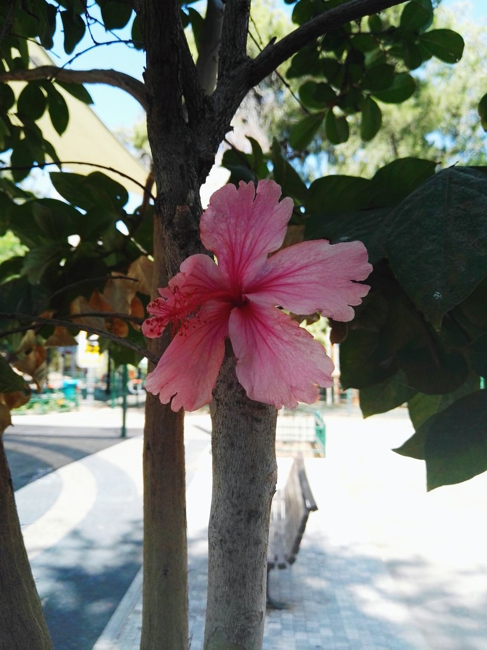 flower, beauty in nature, day, nature, growth, tree, outdoors, focus on foreground, no people, close-up, freshness, fragility, flower head, water, hibiscus