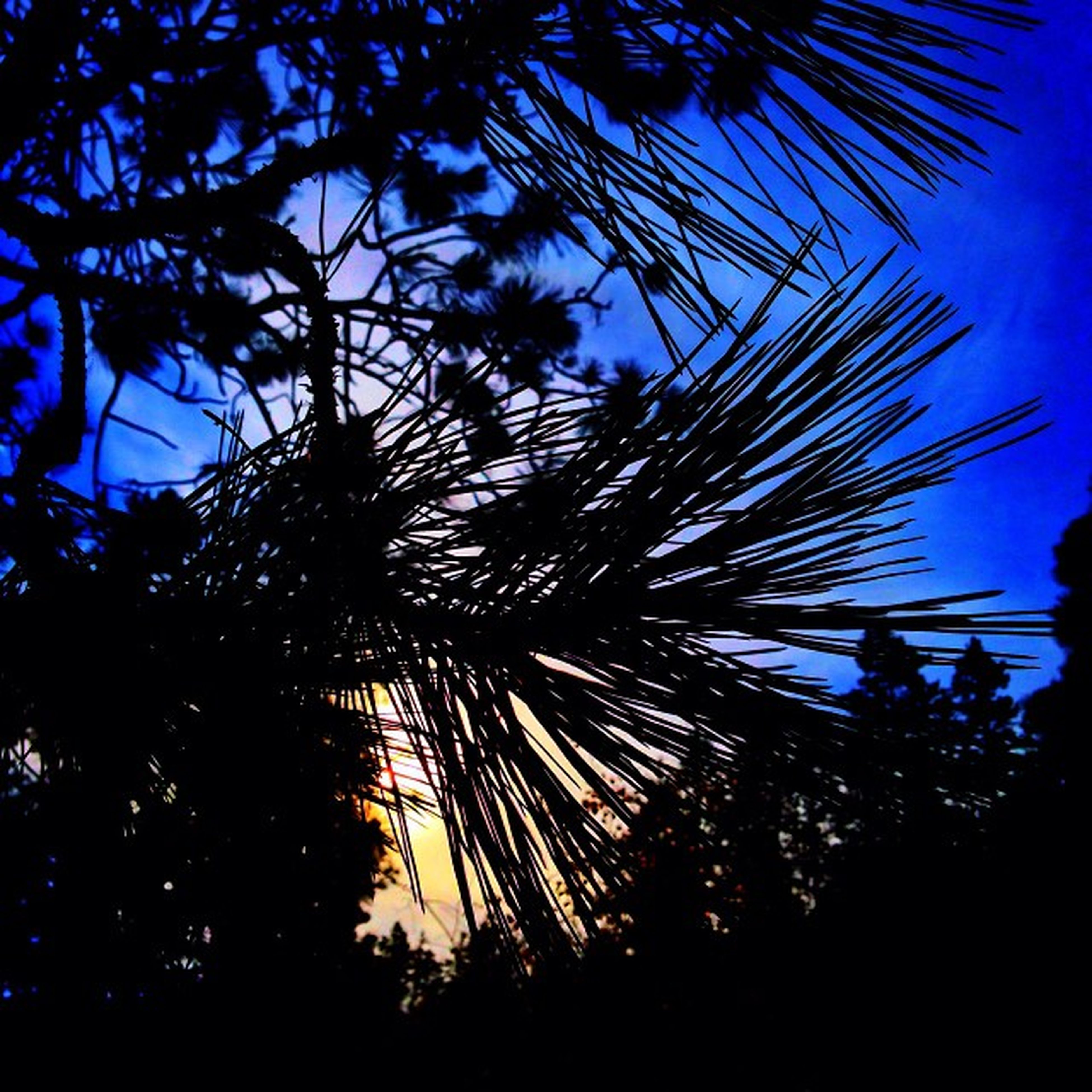 tree, low angle view, silhouette, palm tree, growth, tranquility, nature, beauty in nature, sky, branch, clear sky, blue, scenics, sunset, tranquil scene, outdoors, tree trunk, no people, sunlight, idyllic