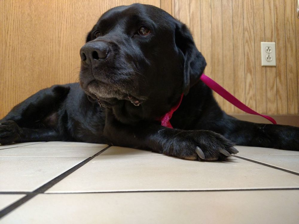 R.I.P. My Dog Black Labrador Black Labrador Retriever Lyme Disease Awareness Heartbroken Sadness And Sorrow Loss Of A Companion Pain And Hurt lost our lab Lily suddenly late last night.Heartbroken beyond words.